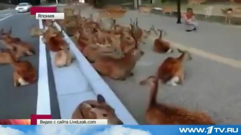 Японский город Нара, в котором олени вместо собак и кошек