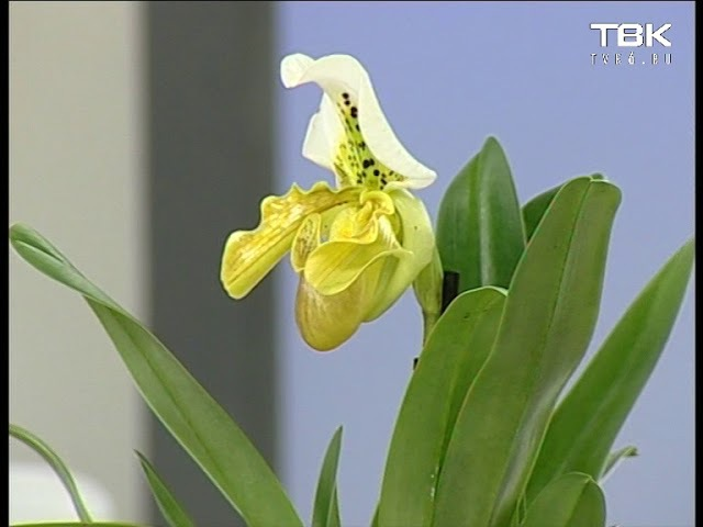 Тяжело ли вырастить орхидею дома