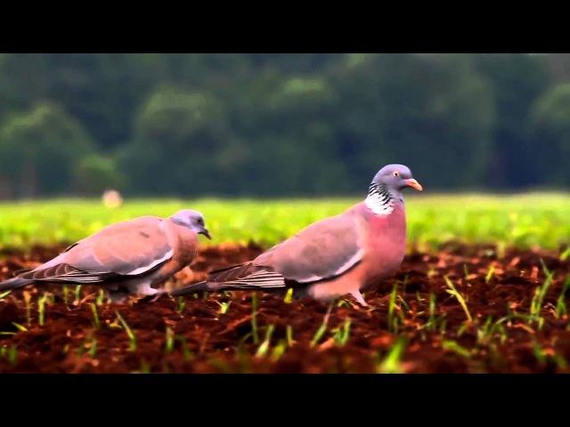 Пение птиц. Вяхирь (Columba palumbus).