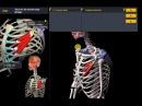 Анатомия.Малой грудной мышцы. Функции, начало, крепление