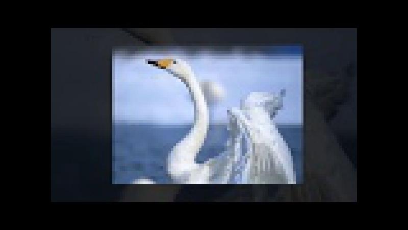 Весільний гурт Кармелюки Білий лебідь пливе