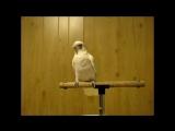 Попугай танцует рок-н-ролл😆👍