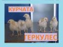 ШВИДКОРОСЛІ КУРЧАТА-МЯСОЯЄЧНИХ КУР ГЕРКУЛЕС
