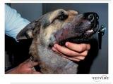 Клинические случаи укусов ядовитыми змеями собак и кошек Snakebites - Clinical Presentations in Dogs and Cats