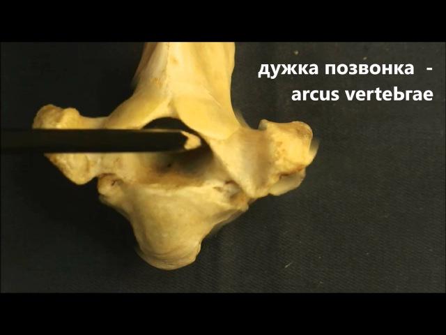 анатомические части позвонка