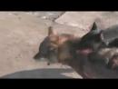 Доберман против волка (игра)