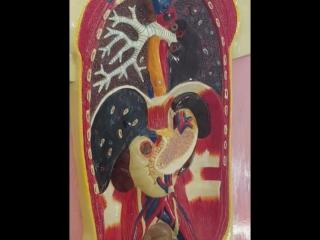 Anat esophagus/stomach