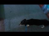 Алиса научилась подниматься по лесенке! Собака - мечта! Звоните: 8-953-436-30-24!