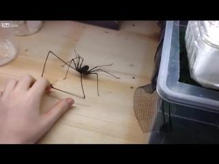 Паук с руками