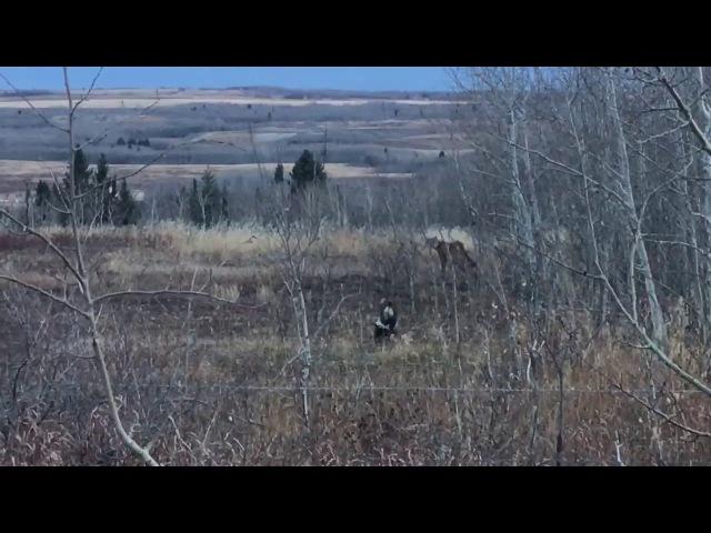 Cougar meets skunk near Calgary