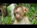 Wow So Sleepy , New Baby Very Sweeties On Monkey's Shoulder ST895 Mono Monkey