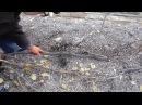 Укрывание назиму куста виногада с рукавами расположенными со смещением зоны плодоношения