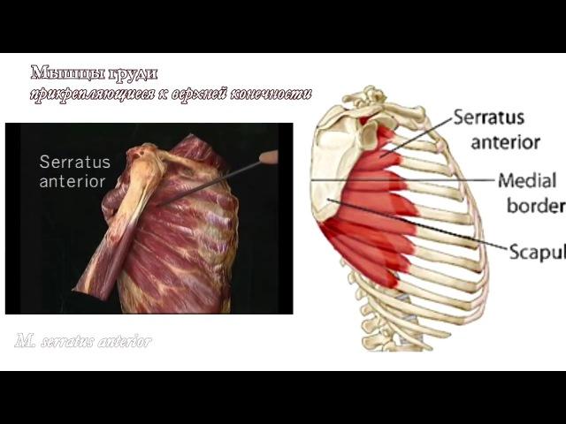 Мышцы груди: функциональная анатомия