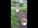 антошка пойдем копать картошку