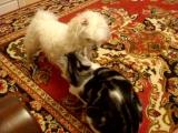 Собачка Белка и кот Кузя. Кто в доме главный.