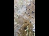 Как будущие лягушки убегают от меня))