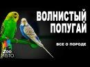 Волнистый попугай Все о породе Попугай породы Волнистый