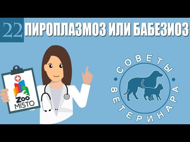Пироплазмоз или бабезиоз у домашних животных. Советы ветеринара
