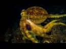 Mototi Octopus - Poison Occelate Octopus