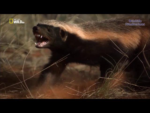Honey Badger Meanest Predator on Earth New HD Documentary 2017