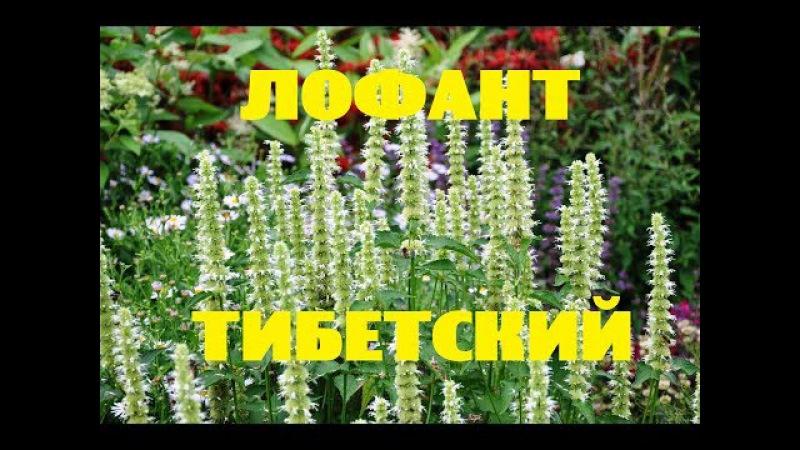 ЛОФАНТ/ в средней полосе России КХ Алексеевых