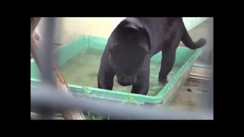 黒ジャガーと鯉 Black jaguar eating fish@Kyoto City Zoo