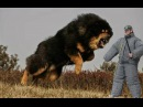 Top 25 Most Dangerous Dog Breeds in the World