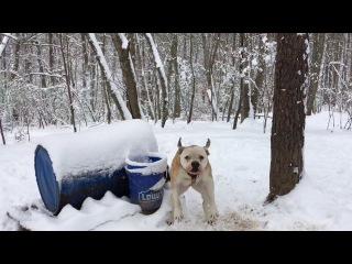 Jam Up Bulldogs Winter yard video 2017. Ближайшие родственники пит-бульдогов от Хана и Беллы - бульдоги кровей Kinghaven.
