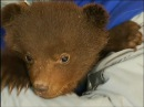 «Плачут как маленькие дети»: как живут медвежата после жестокого убийства матери в берлоге