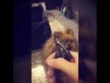 Собака совсем не хочет стричь когти