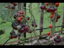 Лучшие томаты для теплицы Обзор сортов сезона 2017 года