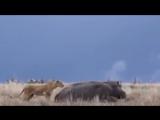 ВЕРСУС. БЕГЕМОТ - САМОЕ ОПАСНОЕ ЖИВОТНОЕ АФРИКИ, видео, 10, топ, битвы животных, африка, нападение животных