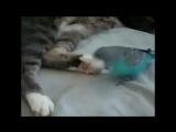 Попугай разговаривает с котом!