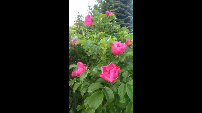 Это известный всем шиповник – роза морщинистая (Rosa rugosa)