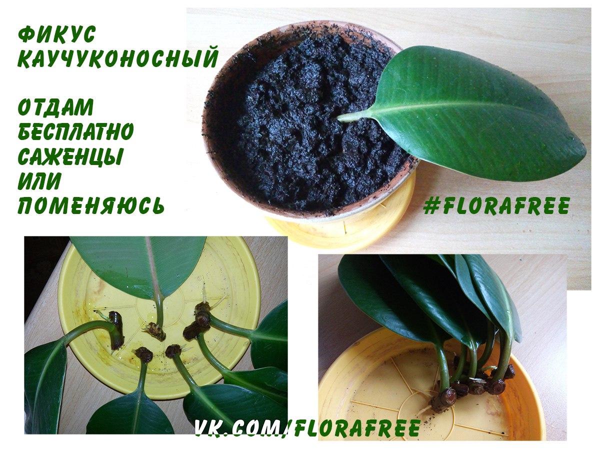 florafree, растения даром, флорафрии, фикус каучуконосный, цветы бесплатно, фиалки бесплатно,  отдам бесплатно цветы, фикус отдам даром,