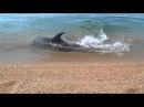 Дельфин играет с рыбой на берегу Керчи
