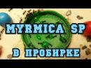 Myrmica sp в пробирке