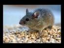 Мышь главный враг дачника