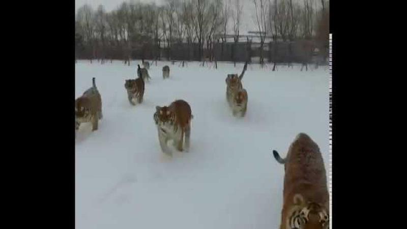 Тигры охотятся на квадрокоптер, дрон. Tigers hunt the quadcopter, the drone.