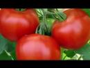 Необычный способ посева томатов под зиму