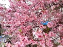 Ялта.30.03.15.Цветение персика