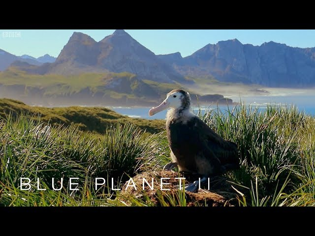 Albatrosses are ingesting plastic - Blue Planet II: Episode 7 Preview - BBC One