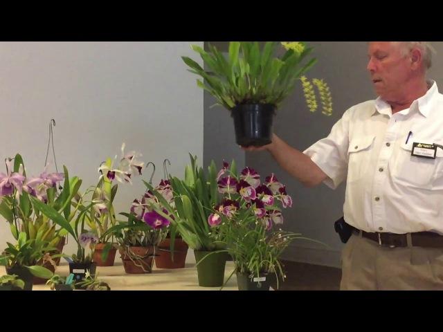 Как выращивают орхидеи мои американские друзья. Июнь. Каттлея, лелия, милтониопсис, ванда, башмачки