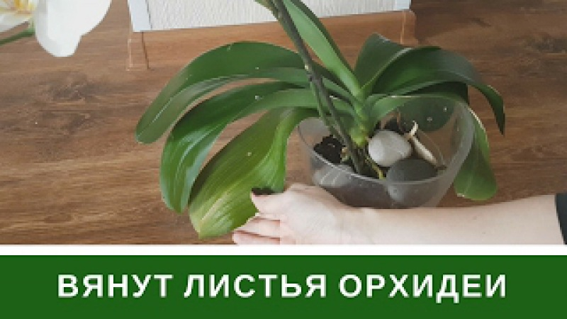 🌸Почему Вянут Листья Орхидеи Пропадет Тургор Листьев Фаленопсиса