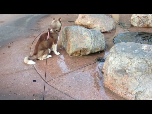 Siberian Husky puppy gets a wet Surprise.
