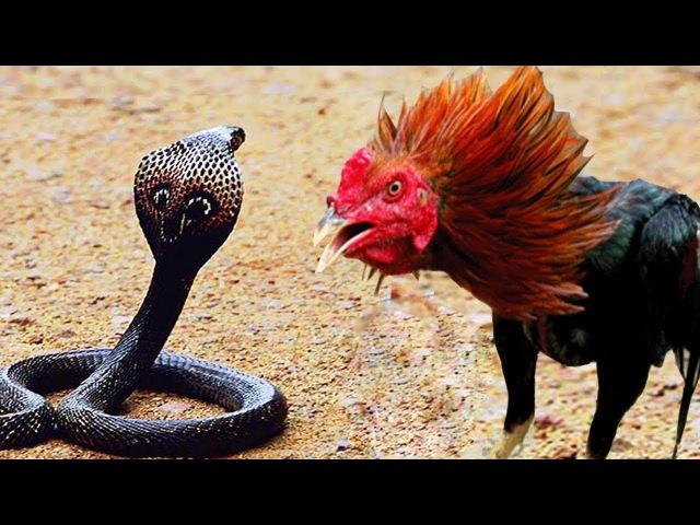 Король Кобры Змея и Кровавые войны || Король Кобра и Кровавые битвы