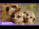 Andy's Baby Animals ( Зверята Энди ). CBeebies | Funny: Baby Meerkats can't stay awake