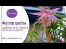 🌺 Футаж цветы скачать бесплатно Цветок клематиса княжик Сорбет Nina Petrusha channel Cle