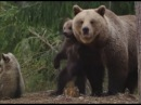 Страстная медведица откусила грибнику нос