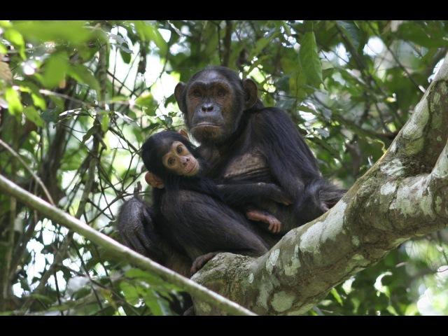 Goualougo Chimpanzee Mother Tickles Infant